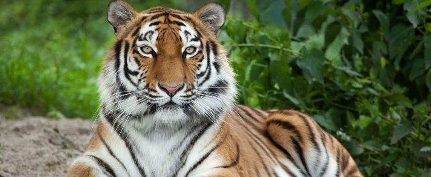 WWF Helps To Double Wild Tiger Population In Nepal