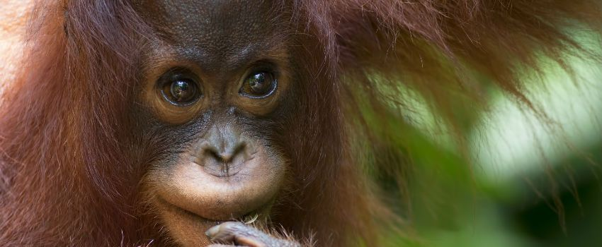 WWF Says Orangutan Numbers Falling In Some Areas