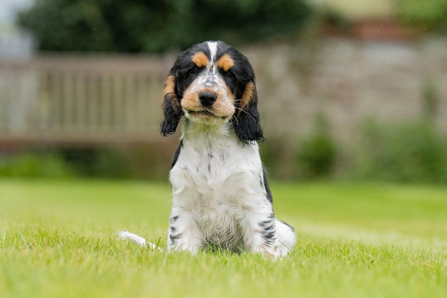 Sponsor a Puppy Arthur