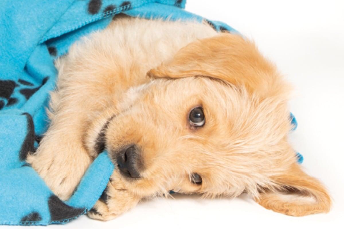 Sponsor a Puppy Ginger