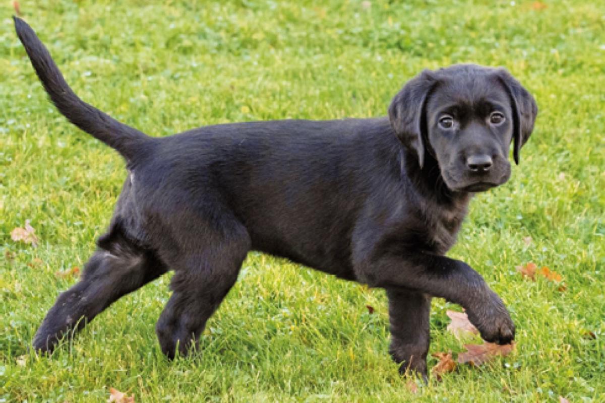 Sponsor a Puppy Marley