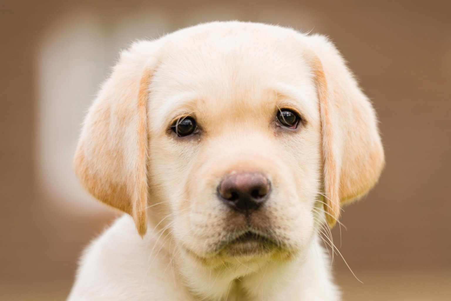 Sponsor a Puppy Toby