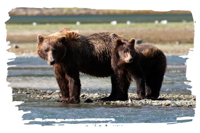 Adopt a Brown Bear