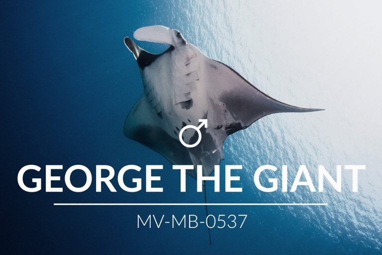 Adopt a Manta – George the Giant